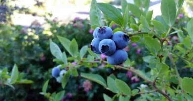 Blueberries Benefits and side effects in hindi
