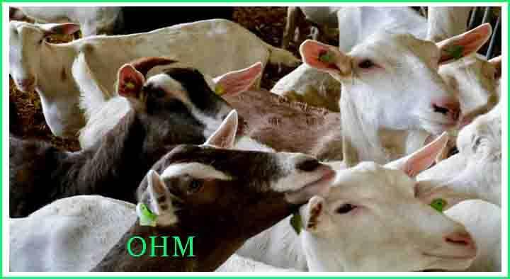 Goat Farming in India - Bakri Palan