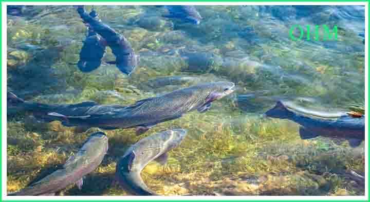 Machli Palan Ka Tarika Puri Jankari - Fish Farming